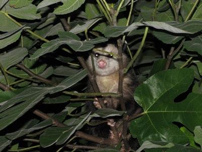 opossumfig.jpg